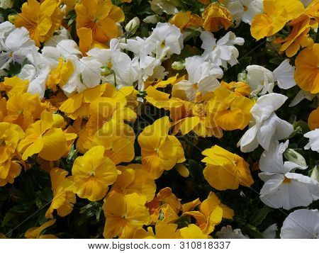 Close Up Of A Profusion Of Yellow And White Flowers
