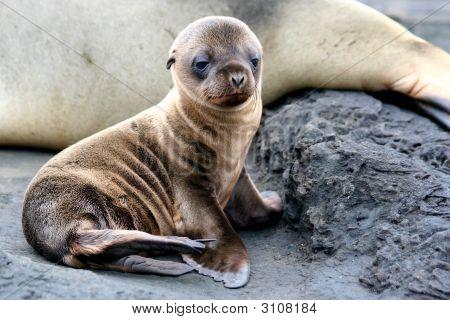 Sea Lion Puppy, Galapagos