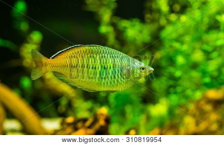 closeup of a boesemani rainbow fish, popular and colorful fish in aquaculture, tropical Endangered animal specie from papua, Indonesia poster