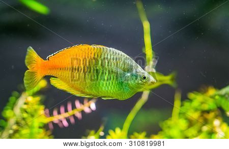 Boesemani Rainbow Fish In Closeup, Colorful And Popular Pet In Aquaculture, Tropical And Endangered