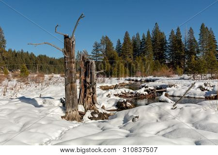 Snow Covered Ground And Dead Trees At Donner Memorial State Park On A Winters Day With  Blue Sky