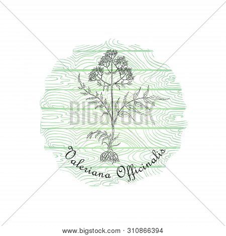 Round Badge With Contour Valerian Plant And Plank Wooden Background. Valeriana Officinalis Plant Nam