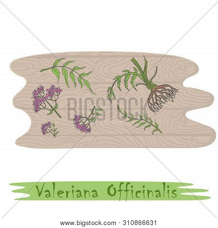 Root And Stems Of The Valerian Plant On The Wooden Cutting Board. Curved Shape Of The Board With Woo
