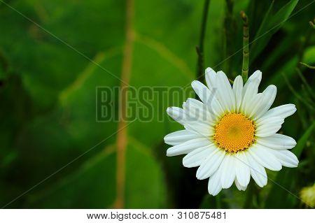 Bright Oxeye Daisy Or Leucanthemum Vulgare Or Ox-eye Daisy Or Dog Daisy On Blurred Green Background