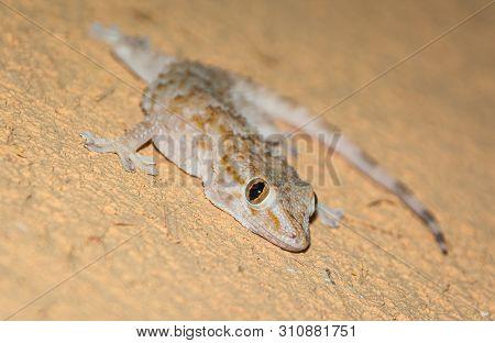 Small Gecko Lying On The Orange Wall, Morocco
