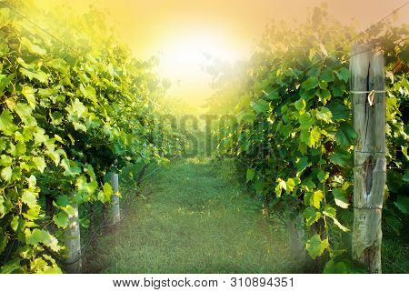 Sunrise Looking Down The Row Of Grapes At A Vineyard.