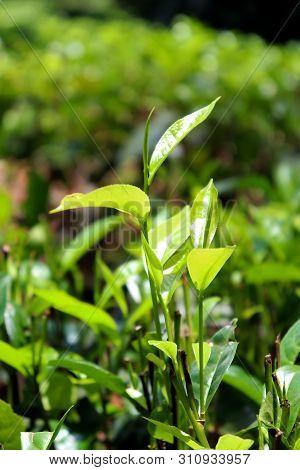 Srilankan Tea Leaf Close Up Image Cool