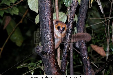 Night Portrait Of The Brown Mouse Lemur Microcebus Rufus Aka Eastern Rufous Or Russet ,ranomafana, F