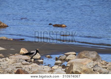A Gray Crow Seat On The Shore Next To The Water. Stones This Side.