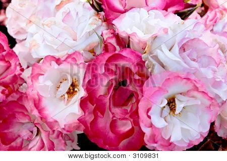 Cancan Roses