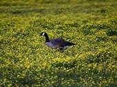 Canadian goose walking in a field of buttercups. poster