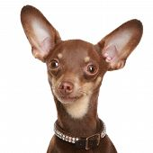 Russian toy terrier isolated on a white background poster