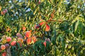 A lot of mellow peaches hanging on the tree in the orchard. Healthy and natural food. poster