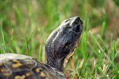 A close-up of a turtle walking through a field of grass. poster