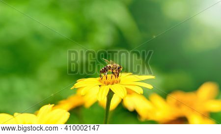 Bee And Flower.  Banner. Close Up Of A  Striped Bee Collecting Pollen On A Yellow Flower On A Sunny