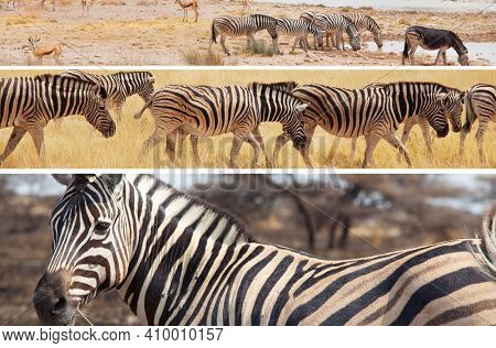 African plains zebras on the dry brown savannah grasslands browsing and grazing. African safari background, collage