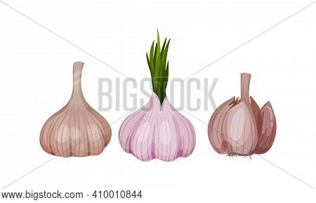 Garlic Bulb With Cloves Used In Culinary As And Condiment Vector Set