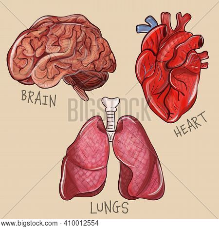 Human Anatomy Internal Organ Set With Brain Lungs Heart. Medicine, Internal Organs. Detailed 3d Vect