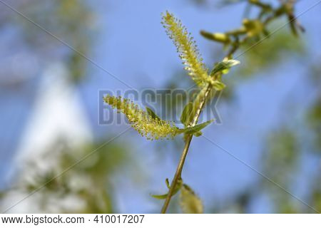 Golden Weeping Willow - Latin Name - Salix Alba Subsp. Vitellina Pendula