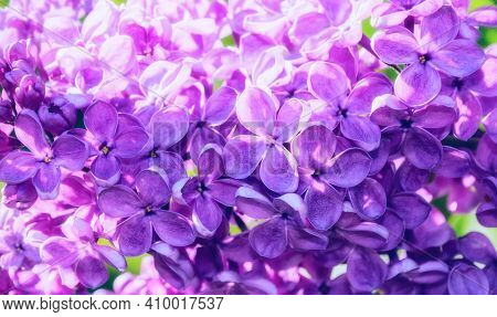 Spring background, spring flowers. Lilac spring flowers, spring background, lilac spring flowers in spring garden.Pastel and glow effect applied.Spring landscape, spring garden, blooming spring lilac, spring flower background, spring pink lilac