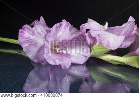 The Beautiful Flower Gladiolus Rests Upon Table With Reflection. The Gentile Flower On Black Backgro