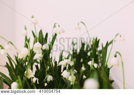 Spring Flowers Growing On White Background With Copy Space. Hello Spring. Fresh Buds, Green Leaves A