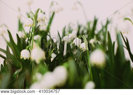 Hello Spring. Spring Snowflakes Flowers Growing On White Background With Copy Space. Fresh Buds, Gre