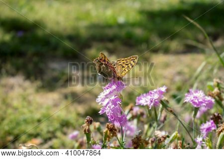 Monarch Butterfly On A Purple Flower. Gentle And Elegant Insects Feeding On The Flowers. The Concept