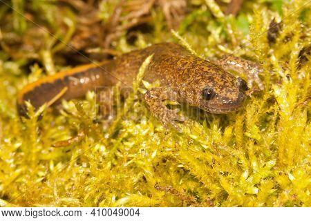 Close Up Of The Tsushima Salamander , Hynobius Tsuensis Enemdic To Japan, On Green Moss