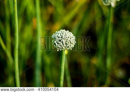Dewdrops On The Onion Flower Buds, Onion Plants Produce Flowers That Are Ready For Pollination And S