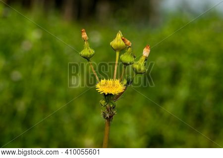 Rough Milk Thistle Or Sow-thistle Yellow Flowers, Flower Buds Of Prickly Sonchus Asper Growing In Sh