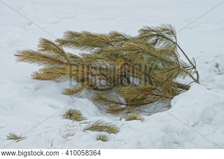 Garbage From Green Brown One Cut Pine Tree Lies On The Snow Snowdrift On The Street