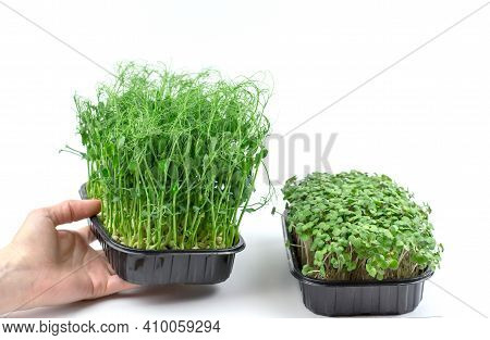 A Womans Hand Holds A Box Of Pea Sprouts, Next To It There Is A Box Of Mustard Sprouts. Young Sprout