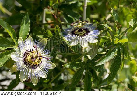 Blue Flowering Passion Flower With Stamens And  Ovary - Close-up