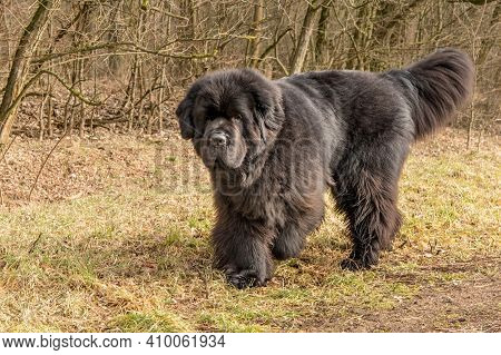 Newfoundland Dog Breed In An Outdoor. Spring Walk With A Dog. Big Dog.