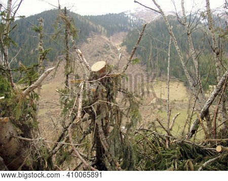 Avalanche Damage To Trees In A Forest In The Spring