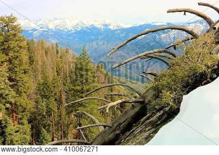 Collapsed Fallen Down Pine Tree On A Mountainous Slope Covered With Snow Overlooking A Lush Alpine P