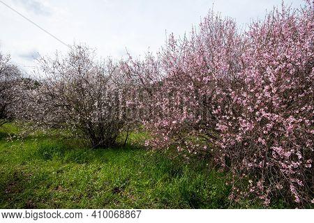 Blooming Almond Trees Bloom In Spring Against Blue Sky. Springtime Landscape In Cyprus