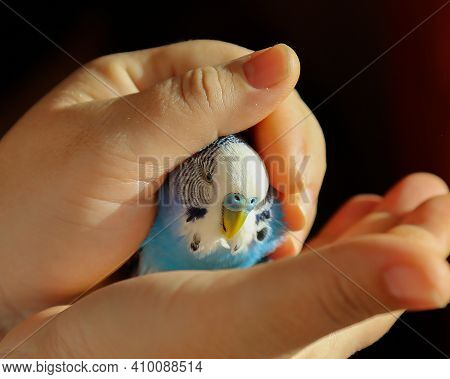 Portrait. A Budgie Sits In The Palms Of A Person's Hands. The Human Hand Is Inhabited By Blue Parrot