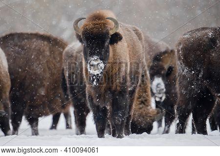 Wild Bisons In Winter Time. Herd Of European Bisons On Snowy Field. Beautiful Wild Animals. Bull Wit