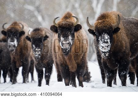 Wild European Bisons In Winter. Herd Of Bisons On Snowy Field. Beautiful Wild Animals In Snowfall.