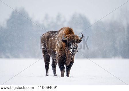 Bison In Snowfall Standing On Snowy Field. Wild European Bison. Belarus Nature.