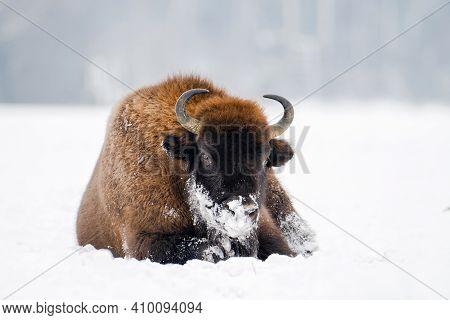 Wild Bison Portrait. European Bison Lying On Snowy Field. Animal In Wild Nature.