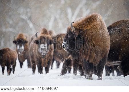 Bull Bison In Front Of Herd In Snowfall. Wild Bison In Winter Nature. Heavy Bull With Horns.