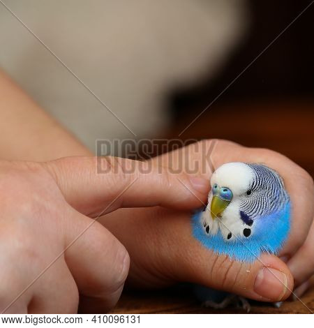A Person Holds A Parrot In His Hand And Strokes It With His Finger. The Owner Caresses The Budgie. A