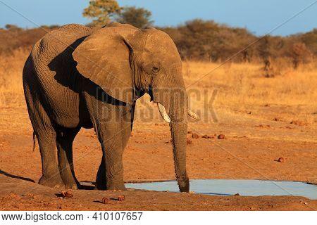 Elephant Bull At Waterhole,african Bush Elephant (loxodonta Africana). Large Bull Elephant Standing