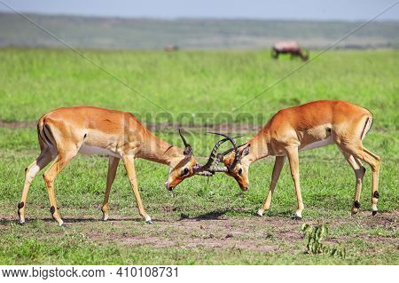 Fighting Impalas (aepyceros Melampus) In The Bright Green African Savannah