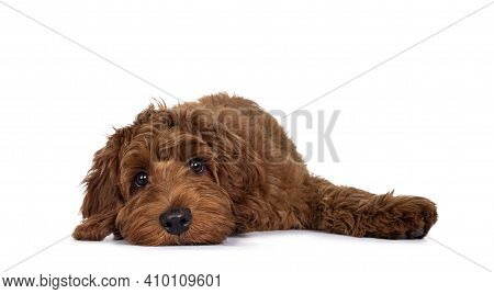 Adorable Red Cobberdog Pup, Layng Down With Head Flat On Surface. Looking With Droopy Eyes Towards C