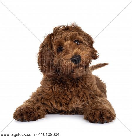 Adorable Red Cobberdog Pup, Laying Down With Front Paws Stretched Forward. Looking With Droopy Eyes