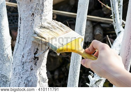 Young Female Hand Is Whitewashing Fruit Trees Trunks. Way Of Protection From Heat And Sun. Painting